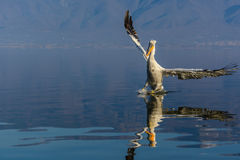 Dalmatian pelican Pelecanus crispus Stock Photography