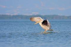 Dalmatian Pelican /Pelecanus crispus/. Royalty Free Stock Photo