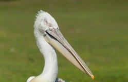 Dalmatian pelican (Pelecanus crispus) Stock Photos