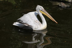 Dalmatian pelican (Pelecanus crispus) Royalty Free Stock Photo