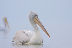 Dalmatian Pelican /Pelecanus crispus/. Royalty Free Stock Images