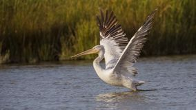 Dalmatian Pelican Taking Off Stock Photos