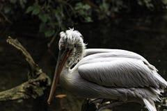 Dalmatian pelican stock photo