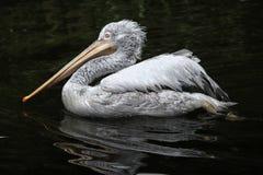 Dalmatian pelican (Pelecanus crispus). Stock Photos