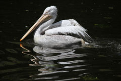 Dalmatian pelican (Pelecanus crispus). Stock Photography
