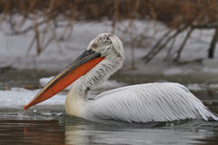 Dalmatian Pelican (Pelecanus crispus) in winter Royalty Free Stock Image