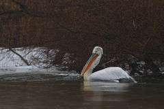 Dalmatian Pelican (Pelecanus crispus) in winter Royalty Free Stock Photos