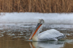 Dalmatian Pelican (Pelecanus crispus) in winter Royalty Free Stock Photography