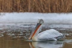 Dalmatian Pelican (Pelecanus crispus) in winter Royalty Free Stock Photography