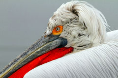 Dalmatian pelican Royalty Free Stock Photos