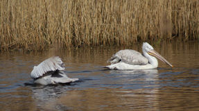 Dalmatian pelican royalty free stock images