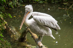 Dalmatian pelican perched on a log emerging from the water stock image
