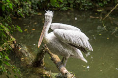 Dalmatian pelican perched on a log looking at the camera royalty free stock photo