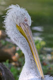 Dalmatian Pelican Portrait Stock Photo