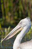 Dalmatian Pelican Portrait Royalty Free Stock Photography