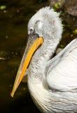 Dalmatian Pelican portrait Stock Image