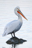 Dalmatian pelican portrait Stock Images
