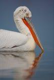 Dalmatian Pelican portrait sitting on the water, Kerkini Lake, G Royalty Free Stock Photo