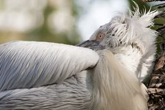 Dalmatian Pelican sleeping Stock Photo