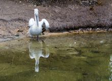Dalmatian pelican standing at the water side, Near threatened bird from Europe. A dalmatian pelican standing at the water side, Near threatened bird from Europe royalty free stock photography