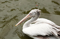 Dalmatian Pelican. A dalmatian pelican is swimming in the lake Stock Photo