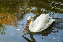 A dalmatian pelican swimming in a lake. A big pelican swimming in an Italian lake stock image