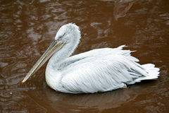 Dalmatian Pelican swimming in lake Royalty Free Stock Images
