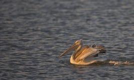 Dalmatian Pelican Swimming (Pelecanus crispus) Stock Photos