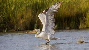 Dalmatian Pelican Taking Off Royalty Free Stock Images