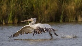 Dalmatian Pelican Taking Off Royalty Free Stock Photos
