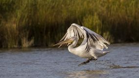 Dalmatian Pelican Taking Off Royalty Free Stock Image