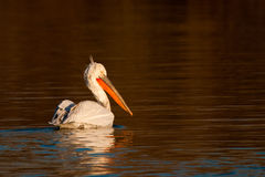 Dalmatian Pelican on Water Stock Image