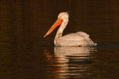Dalmatian Pelican on Water Royalty Free Stock Photos