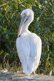 Dalmatian Pelican (Pelеcanus crispus) stands on the shore of the lake Royalty Free Stock Image
