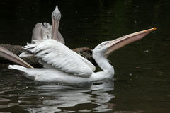 Dalmatian pelican (Pelecanus crispus). Royalty Free Stock Photography