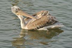Dalmatian pelicans Royalty Free Stock Image