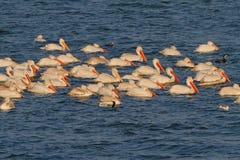 Dalmatian Pelicans Royalty Free Stock Photos