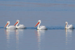 Dalmatian Pelicans Royalty Free Stock Photos