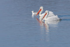 Dalmatian Pelicans Royalty Free Stock Photography