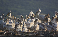 Dalmatian Pelicans and chicklings on their nest Royalty Free Stock Images