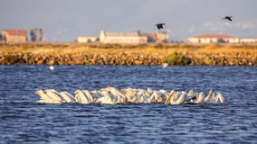 Dalmatian Pelicans Feeding. A flock of Dalmatian pelicans (Pelecanus crispus) are feeding on a claer blue sea stock image