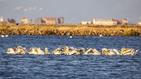Dalmatian Pelicans Feeding Stock Photos
