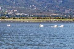 Dalmatian pelicans fishing in the water of Lake Kerkini, Greece stock photo