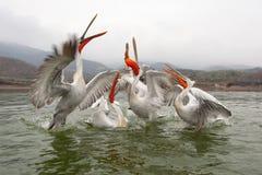 Dalmatian pelicans Stock Images