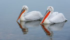 Two Dalmatian pelicans. Dalmatian pelicans on lake Kerkini in Greece. Close up portrait. reflections in the water royalty free stock photography