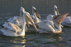 Dalmatian Pelicans of Lake Kerkini Greece Royalty Free Stock Photos