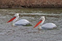 Dalmatian Pelicans (Pelecanus crispus) Stock Image