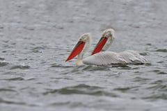 Dalmatian Pelicans (Pelecanus crispus) Royalty Free Stock Images