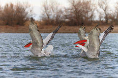 Dalmatian Pelicans (Pelecanus crispus) Royalty Free Stock Photos
