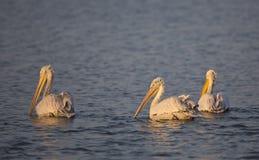 Dalmatian Pelicans(Pelecanus crispus) Royalty Free Stock Images